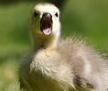 Baby Goose thumbnail