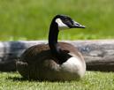 Goose thumbnail